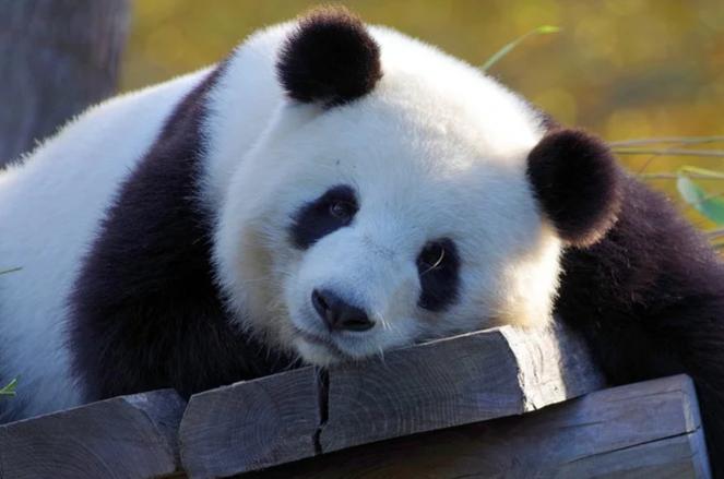 小朋友大百科-熊猫天天